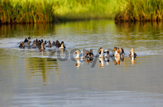 Domestic ducks to the river, Madagascar