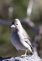 Teneriffa, Teide, Canary Islands, Spain, Tenerife Blue Chaffinch, female