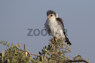 female pygmy falcon sitting on the branches of a bush on the African savannah