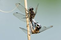 Mating wheel of scarce chasers