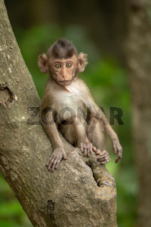 Baby long-tailed macaque on branch facing camera
