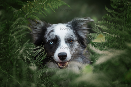 Boder collie dog