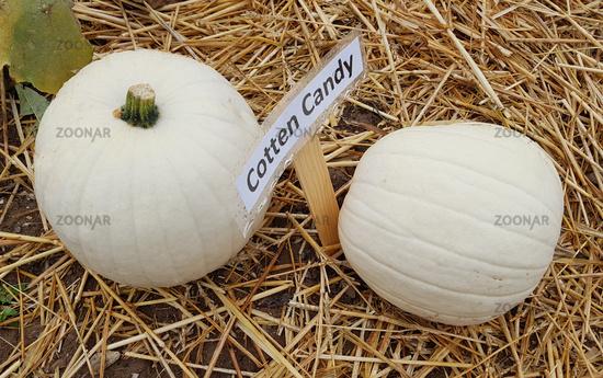 Cotton Candy, Kuerbis; Speisekuerbis