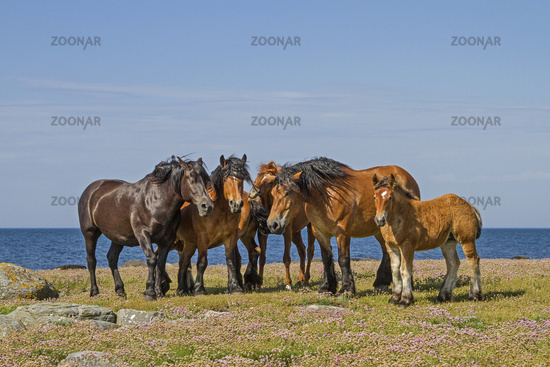 Horse herd in the nature reserve Morups Tange