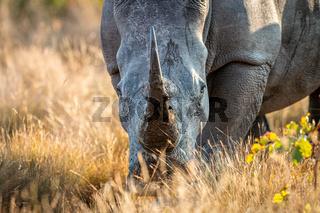Close up of a White rhino head.