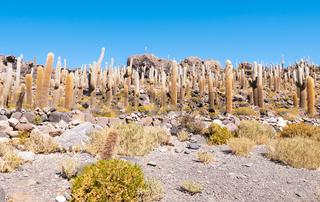 Bolivia Uyuni Incahuasi island cactus forest