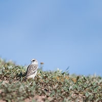 white-rumped snow finch