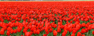 Red tulips bloom in broad spring farm