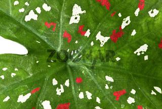 Nahaufnahme eines panaschierten Kaladien-Blatts (Caladium sp.),Ankanin Ny Nofy, Madagaskar