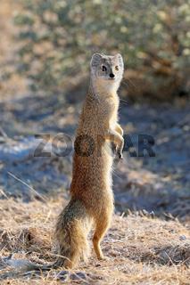 Fuchsmanguste, Etosha-Nationalpark, Namibia, (Cynictis penicillata) | yellow mongoose, Etosha National Park, Namibia, (Cynictis penicillata)