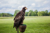 wilde eagle in outdoor nature