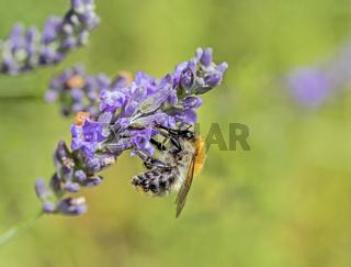Ackerhummel 'Bombus pascuorum' an Lavendel