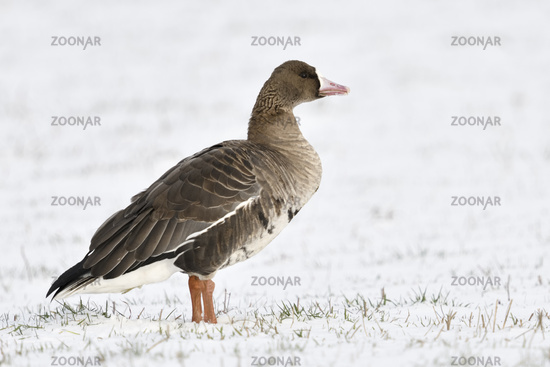 cold... White fronted Goose *Anser albifrons* on a snow covered meadow