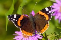 vanessa atalanta on an aster in autumn