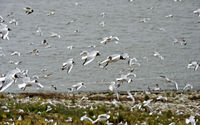 A flock of Black-headed gull (Chroicocephalus ridibundus) flying along the North Sea coast,Germany