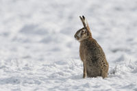 Brown Hare / European Hare * Lepus europaeus * in winter, sitting in snow, side view