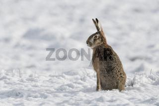 aufrecht sitzend... Feldhase * Lepus europaeus * im Schnee