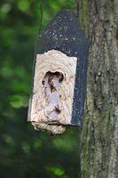 Vespa crabro European hornets
