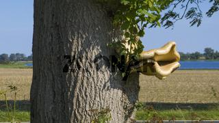 Polyporus Squamosus, Baumpilz an einem lebenden Baum
