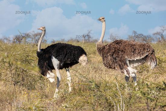 Ostrich, in Etosha, Africa wildlife safari