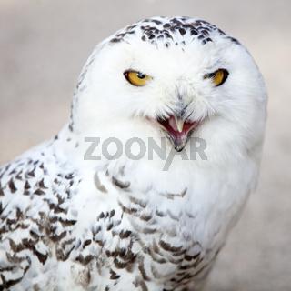 KR_Zoo_Schnee-Eule_02.tif