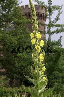 Gelbe Gartengladiole (Gladiolus × hortulanus), Juni