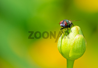 Macro of a fly on a blossom