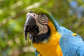 One macaw in the vegetation of the Brazilian rainforest