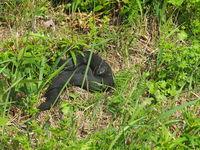 black adder, vipera berus,