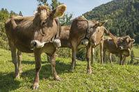 Allgäu cows in the pasture