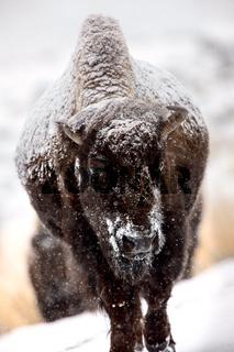 Bison Snow Storm
