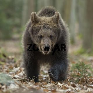 frontaler Anlauf... Europäischer Braunbär * Ursus arctos *