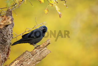 Close up of a Jackdaw perching on a dry tree
