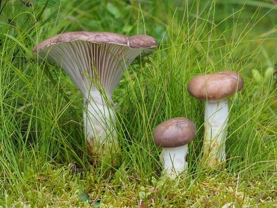 slimy spike-cap, gomphidius glutinos