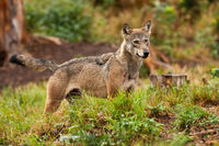 Grey wolf, canis lupus, standing and observing its forest territory