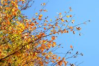 Branches with yellow, orange autumn leaves on the tree against a blue sky