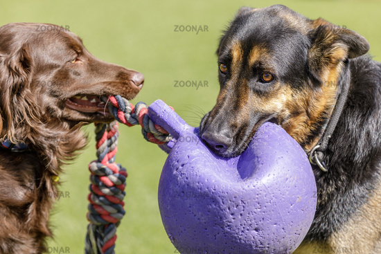 Golden Retriever and German Shepherd playing with a toy.