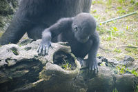 huge and powerful gorilla, natural environment, Gorilla Mother and the baby portraits