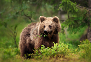 European brown bear eating grass and branches in forest