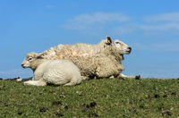 ewe with lamb, marsh at theNorth Sea coast, Schleswig-Holstein, Germany