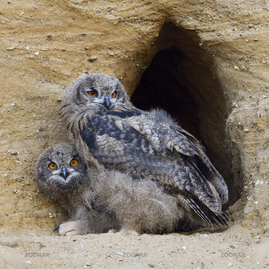 Eurasian Eagle Owls * Bubo bubo *, moulting chicks in front at their nest burrow