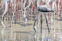 Juvenile Greater Flamingos in a the wetlands of Dubai, UAE