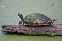 Florida Cooter on a log