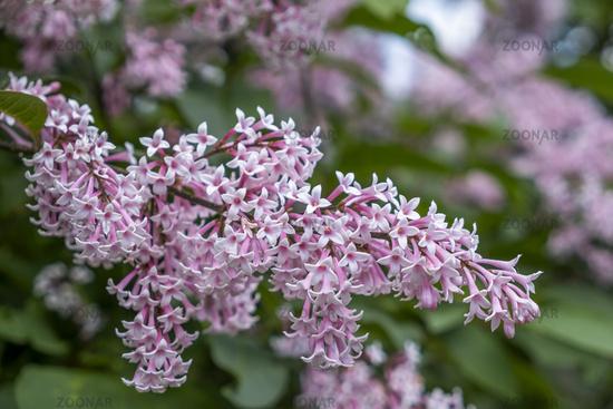 Hungarian lilac (Syringa josikaea)