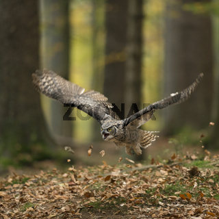 Abflug im Herbstwald... Virginia-Uhu * Bubo virginianus *