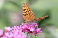 Silver-washed Fritillary or Argynnis paphia sitting on aflower