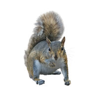 American gray squirrel on white background