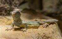 Oman Spiny-tailed Agama