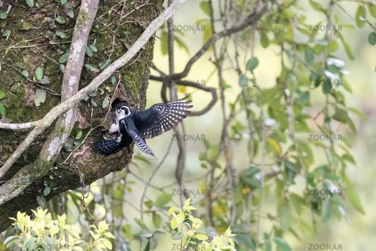 pied falconet