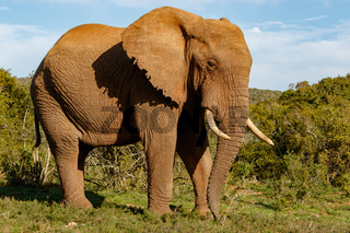 Elephant standing proudly with his trunk pointing to the ground